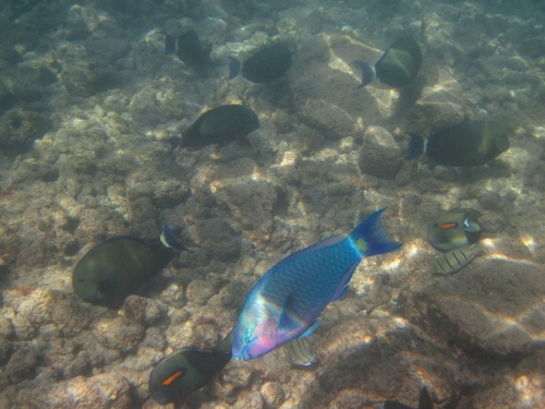Tropical Fish at Poipu Beach Park