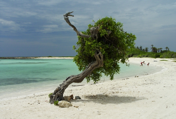 Aruba Baby Beach Divi Tree